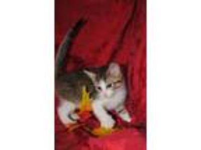 Adopt MICKY a Domestic Short Hair