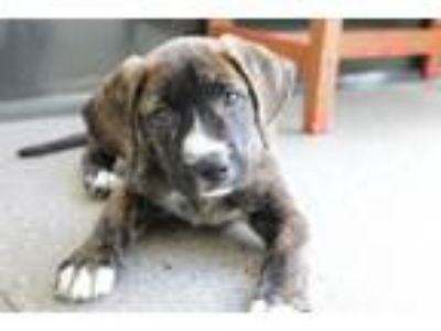 Adopt MOJAVE a Pit Bull Terrier / Terrier (Unknown Type, Small) / Mixed dog in