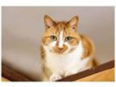 Adopt Milly a Domestic Short Hair