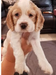 king charles female and male puppies....!!