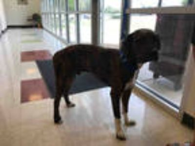 Adopt BOUDREAUX a Brindle - with White Catahoula Leopard Dog / Mixed dog in
