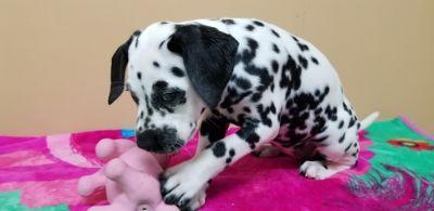 Dalmatian PUPPY FOR SALE ADN-111219 - Akc dalmatian puppies