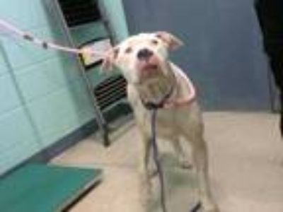 Adopt MARSHMELLOW a White - with Brown or Chocolate Labrador Retriever / Mixed