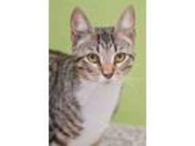 Adopt Meme a Gray or Blue Domestic Shorthair / Domestic Shorthair / Mixed cat in