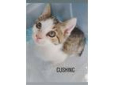 Adopt Cushing a Manx, Domestic Short Hair