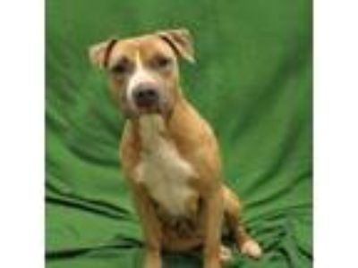 Adopt Cadence a Pit Bull Terrier