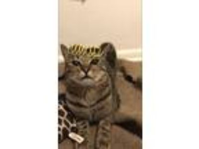 Adopt Graham Cracker a Spotted Tabby/Leopard Spotted Bengal cat in Orlando