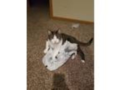 Adopt Two-Step a Gray, Blue or Silver Tabby Domestic Shorthair / Mixed cat in
