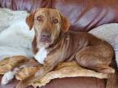 Adopt Mama Tex a Brown/Chocolate - with White Labrador Retriever / Mixed dog in
