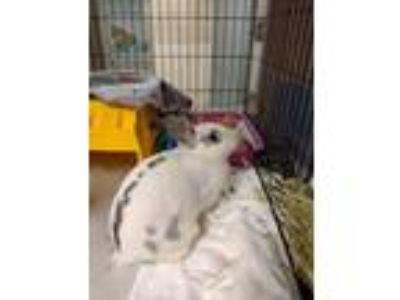 Adopt Cardinal a White American Fuzzy Lop / Other/Unknown / Mixed rabbit in