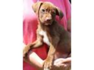 Adopt Hamilton 30875 a Brown/Chocolate - with White Labrador Retriever / Border