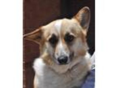 Adopt Lillie a Tan/Yellow/Fawn - with White Pembroke Welsh Corgi / Mixed dog in