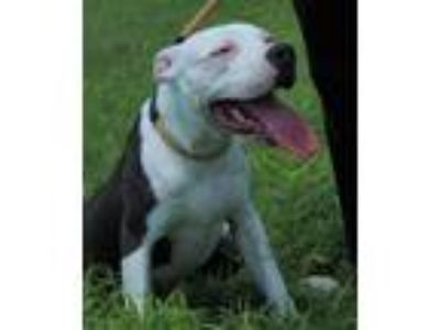 Adopt Baby a Pit Bull Terrier / Mixed dog in Abbeville, LA (25551222)