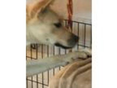 Adopt Macey a Tan/Yellow/Fawn Shepherd (Unknown Type) / Labrador Retriever dog