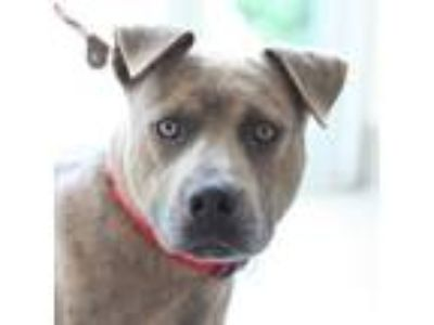 Adopt Justin a Brindle American Pit Bull Terrier / Mixed dog in Alpharetta