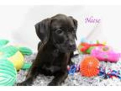 Adopt Neese a Black Basset Hound / Mixed Breed (Medium) / Mixed dog in DeForest