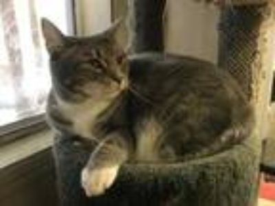 Adopt GRAYCEE a Gray or Blue Domestic Shorthair / Domestic Shorthair / Mixed cat