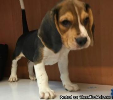 CHARMING BEAGLE PUPPIES