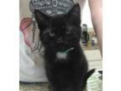Adopt Tyrion a All Black Domestic Shorthair / Domestic Shorthair / Mixed cat in