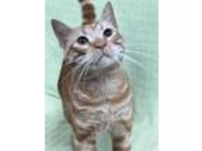 Adopt Charming Charlie a Domestic Short Hair