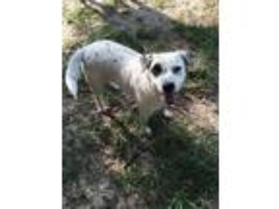 Adopt Patch a White - with Black Australian Cattle Dog / Border Collie / Mixed