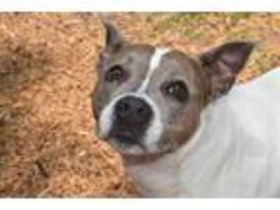 Adopt CHINA a White American Pit Bull Terrier / Mixed dog in Panama City
