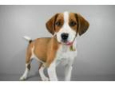 Adopt Tootle a Cattle Dog, Mixed Breed