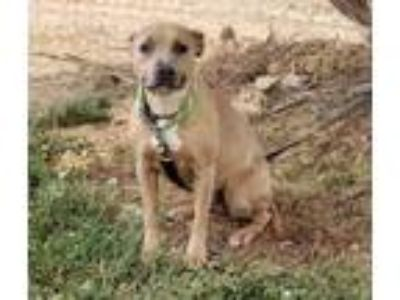 Adopt Joy a Tan/Yellow/Fawn American Pit Bull Terrier / Mixed dog in Reidsville
