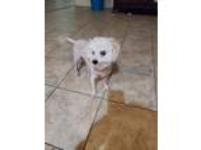 Adopt Pops a White Miniature Poodle / Mixed dog in Goodyear, AZ (25366667)