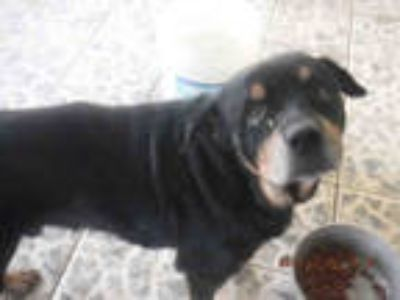 Adopt BOY a Black - with Tan, Yellow or Fawn Rottweiler / Mixed dog in Doral