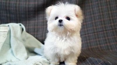 Maltese PUPPY FOR SALE ADN-100743 - PUREBRED TEACUP Maltese puppy for LA SF NY Seattle