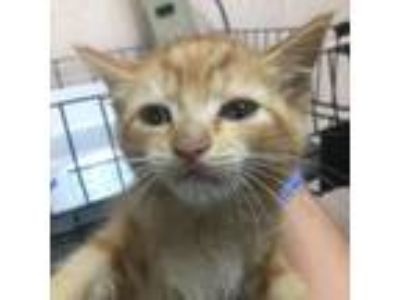 Adopt Lou-88372 a Orange or Red Domestic Shorthair cat in Las Cruces