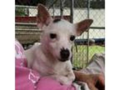 Adopt Sweetie a White Terrier (Unknown Type, Medium) / Mixed dog in Bauxite
