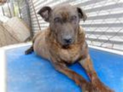 Adopt Helen a Shepherd (Unknown Type) / Mixed dog in San Diego, CA (23834781)