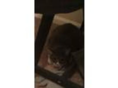 Adopt Callie a Gray or Blue Domestic Shorthair / Mixed cat in Temple
