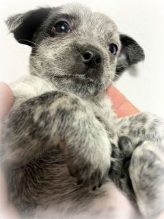 Mini Cattle Dog Puppies