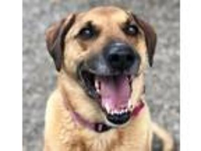 Adopt SCOOTER a Labrador Retriever, Mixed Breed