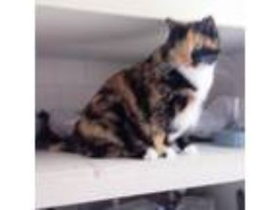 Adopt Sassy - declawed a Domestic Short Hair