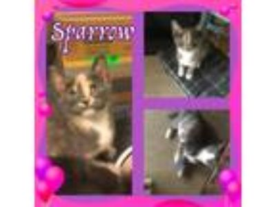 Adopt Sparrow a Domestic Shorthair / Mixed (short coat) cat in Madison