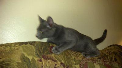 Gorgeous purebred Russian Blue kitten, male, 16 wks