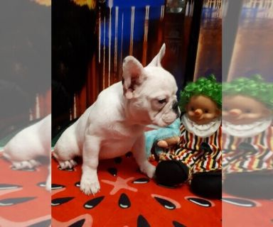 French Bulldog PUPPY FOR SALE ADN-128060 - French Bulldog puppy girl