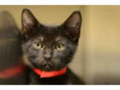 Adopt VIOLET a All Black Domestic Shorthair / Mixed (short coat) cat in West