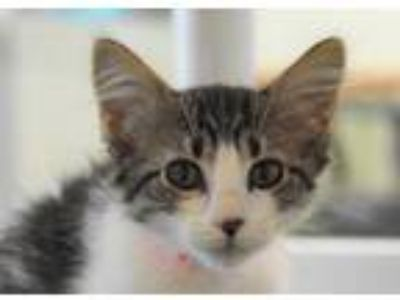 Adopt ARWEN a White Domestic Shorthair / Mixed (short coat) cat in Loveland