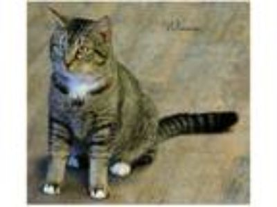 Adopt Winnie a Gray, Blue or Silver Tabby Domestic Shorthair (short coat) cat in