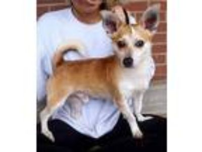 Adopt Trotter! *FOSTER NEEDED 5/25* a Tan/Yellow/Fawn - with White Corgi /