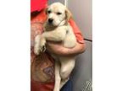 Adopt Biscuit a Tan/Yellow/Fawn - with White Labrador Retriever / Golden