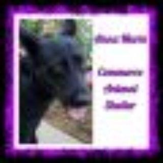 Anna Marie Shepherd - Labrador Retriever Dog