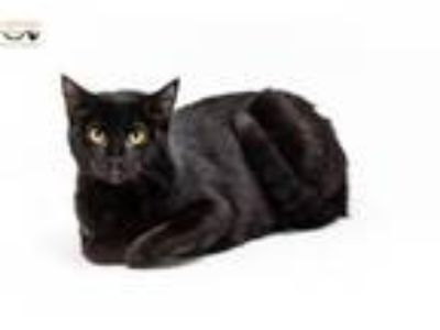 Adopt Noir a Domestic Short Hair