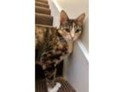Adopt Magnolia Fostered (Patty) a Domestic Short Hair