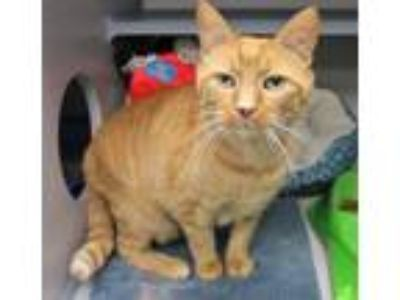 Adopt Samuel Whiskers a Domestic Short Hair